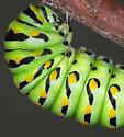 black swallowtail pre-pupa - Papilio polyxenes