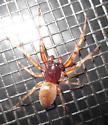 Spider sp.  - Trachelas tranquillus