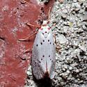 Unidentified Moth - Lactura basistriga