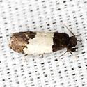 White-banded Kearfottia Moth - Hodges #0319 - Kearfottia albifasciella