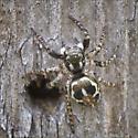 Order Araneae - Spiders, ID Please - Anasaitis canosa
