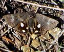 Litocala Moth - Litocala sexsignata