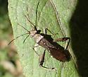 Alydidae - Hyalymenus tarsatus