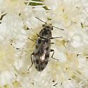 Listrus species, I think - Listrus