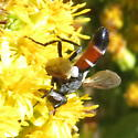 Black, red, and white fly--Syrphidae? - Cylindromyia