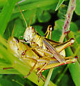 Grasshoppers - Melanoplus bivittatus - male - female