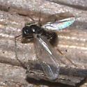 Winged Ant - Prenolepis imparis