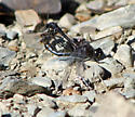 Black Meadowhawk mating pair - Sympetrum danae - male - female