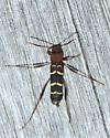 unknown beetle - Neoclytus acuminatus