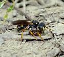 Black Wasp - Cerceris