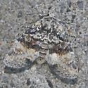 moth - Brachylomia populi