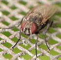 fanniid - Fannia canicularis - female
