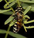 Crabronid wasp - Cerceris acanthophila