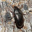 Unknown Beetle - Amara