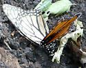 Monarch Butterflies Mating 2 - Danaus plexippus - male - female