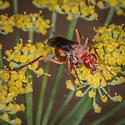 Red Paper Wasp? - Tachypompilus - female