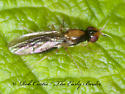 3014186 fly - Psila collaris
