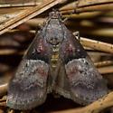 Pine Webworm Moth - Pococera robustella