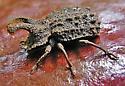 Ridged Brown Beetle - Bolitotherus cornutus