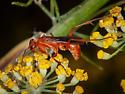 Small Red Spider Wasp? - Ageniella accepta - female