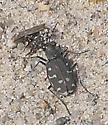 Tiger beetle, 12:41pm - Cicindela duodecimguttata