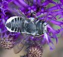 A fast, black bee - Megachile
