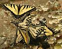 Papilio Sp576 - Papilio appalachiensis - male