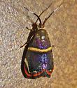 Diva metalmark moth, Hemerophila diva (Choreutidae) - Hemerophila diva