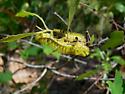 Unidentified Caterpillar - Automeris io