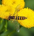 Diptera. Syrphidae. Sphaerophoria philanthus? - Sphaerophoria - female