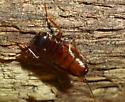 cockroach nymph - Parcoblatta