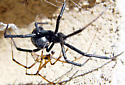 Black Widow Mating - Latrodectus hesperus - male - female