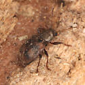 Chrysomelidae, Ten-spotted Leaf Beetle - Xanthonia decemnotata