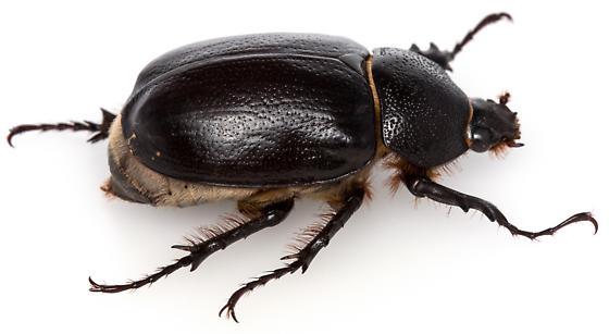 Female, Megasoma punctulatum? - Megasoma punctulatum - female