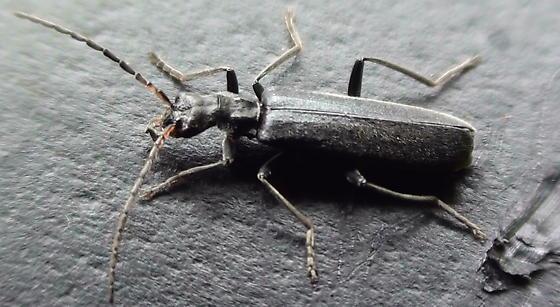 Cantharidae: Malthacus piniphilus? - Dichelotarsus piniphilus