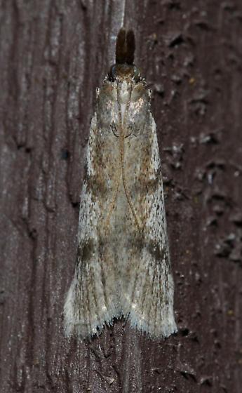 Peoria longipalpella – Long-palps Peoria Moth - Peoria longipalpella