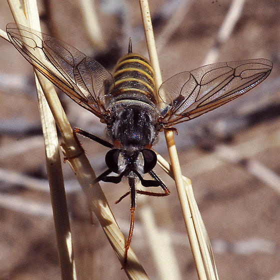 Opomydas townsendi - female