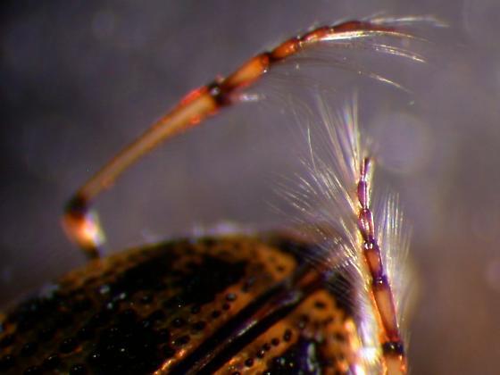 Peltodytes sp. - Peltodytes edentulus