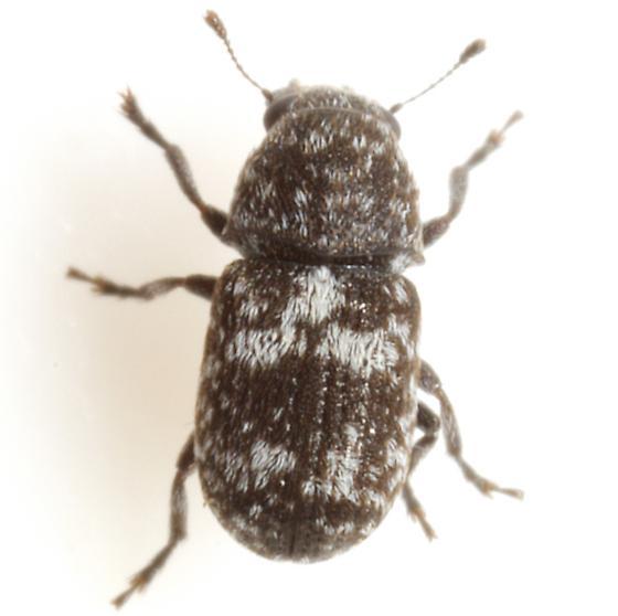 Ormiscus albofasciatus (Schaeffer) - Ormiscus albofasciatus
