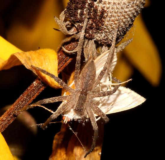 Pisauridae, Nursery Web Spider - Pisaurina mira