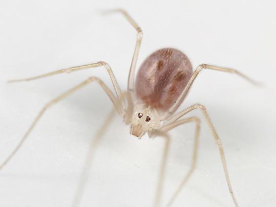 Cellar Spider - Spermophora senoculata - female
