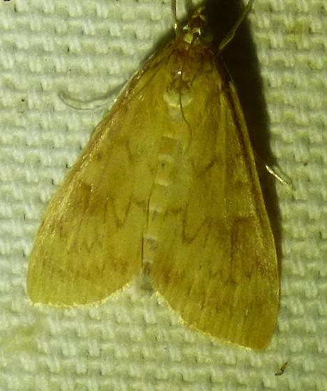 Udea rubigalis - Celery Leaftier - Udea rubigalis