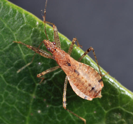 Damsel Bug - Hoplistoscelis pallescens - female