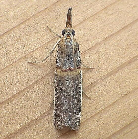 Pyralidae: Etiella zinckenella - Etiella zinckenella