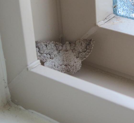 Carpet moth? - Enypia packardata