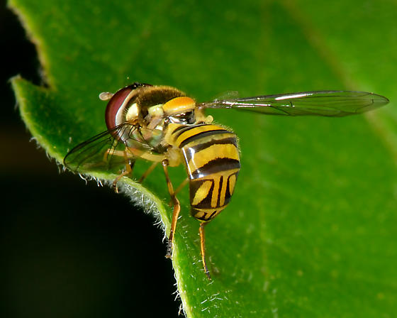 Unknown flower fly (Syrphidae) (Allograpta obliqua?) - Allograpta obliqua