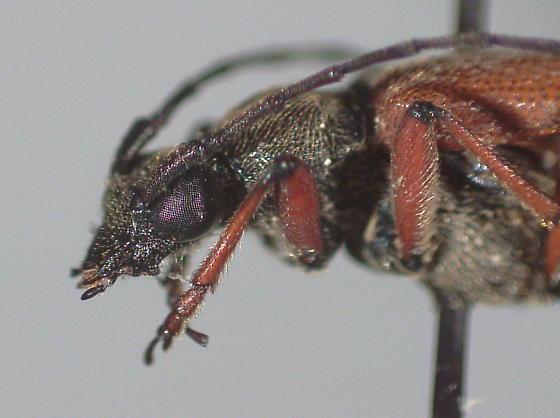 Acmaeopsoides rufula
