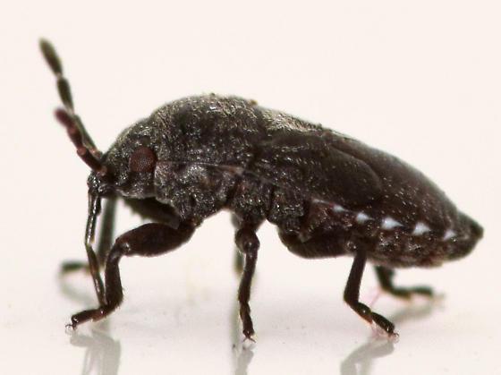big-legged seed bug nymph - Phlegyas abbreviatus