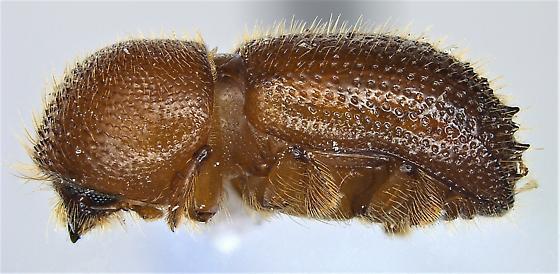 Ambrosiodmus lecontei