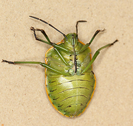 green stink bug - Chlorochroa rossiana